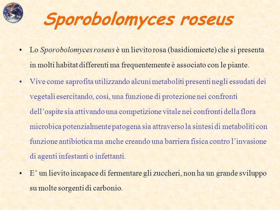 Sporobolomyces roseus Lo Sporobolomyces roseus è un lievito rosa (basidiomicete) che si presenta in molti habitat differenti ma frequentemente è assoc