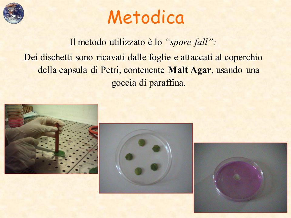 """Metodica Il metodo utilizzato è lo """"spore-fall"""": Dei dischetti sono ricavati dalle foglie e attaccati al coperchio della capsula di Petri, contenente"""