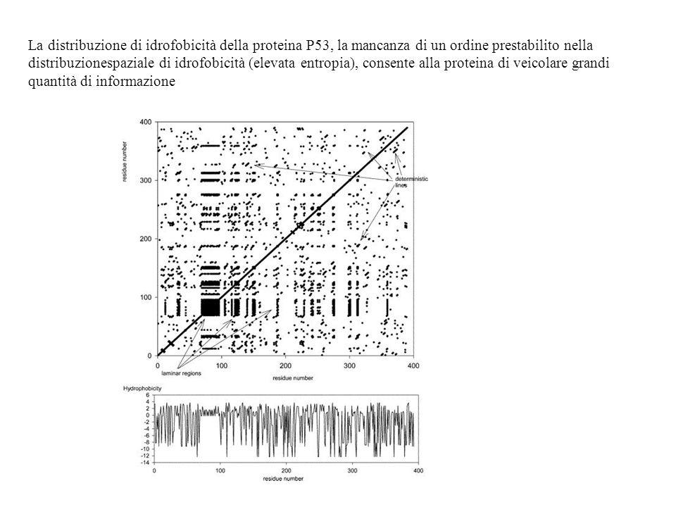 La distribuzione di idrofobicità della proteina P53, la mancanza di un ordine prestabilito nella distribuzionespaziale di idrofobicità (elevata entrop