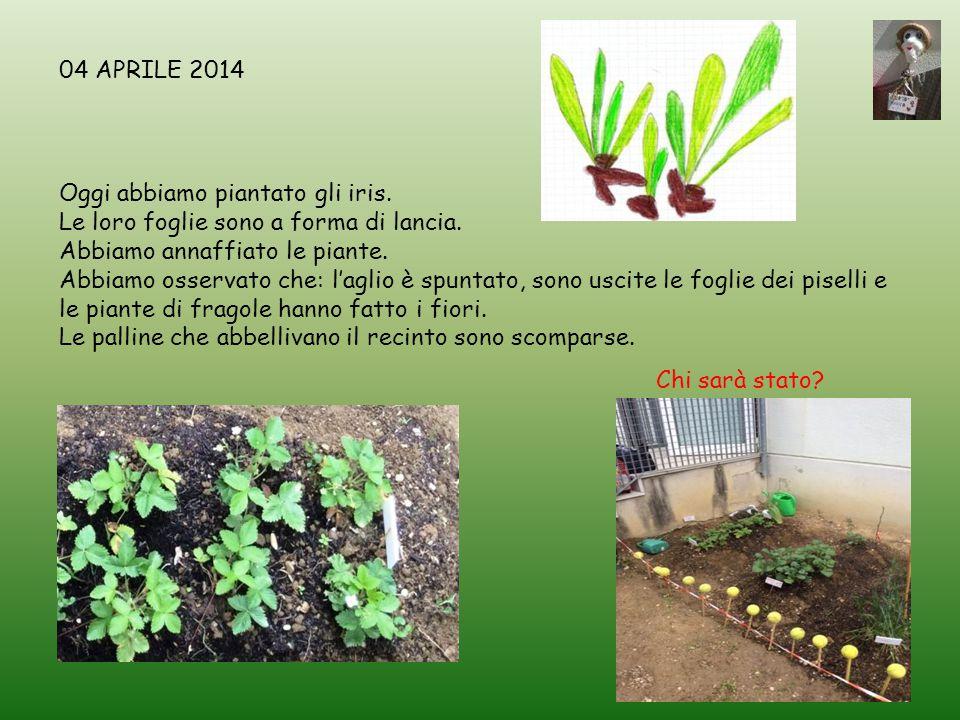 Oggi abbiamo piantato gli iris. Le loro foglie sono a forma di lancia. Abbiamo annaffiato le piante. Abbiamo osservato che: l'aglio è spuntato, sono u