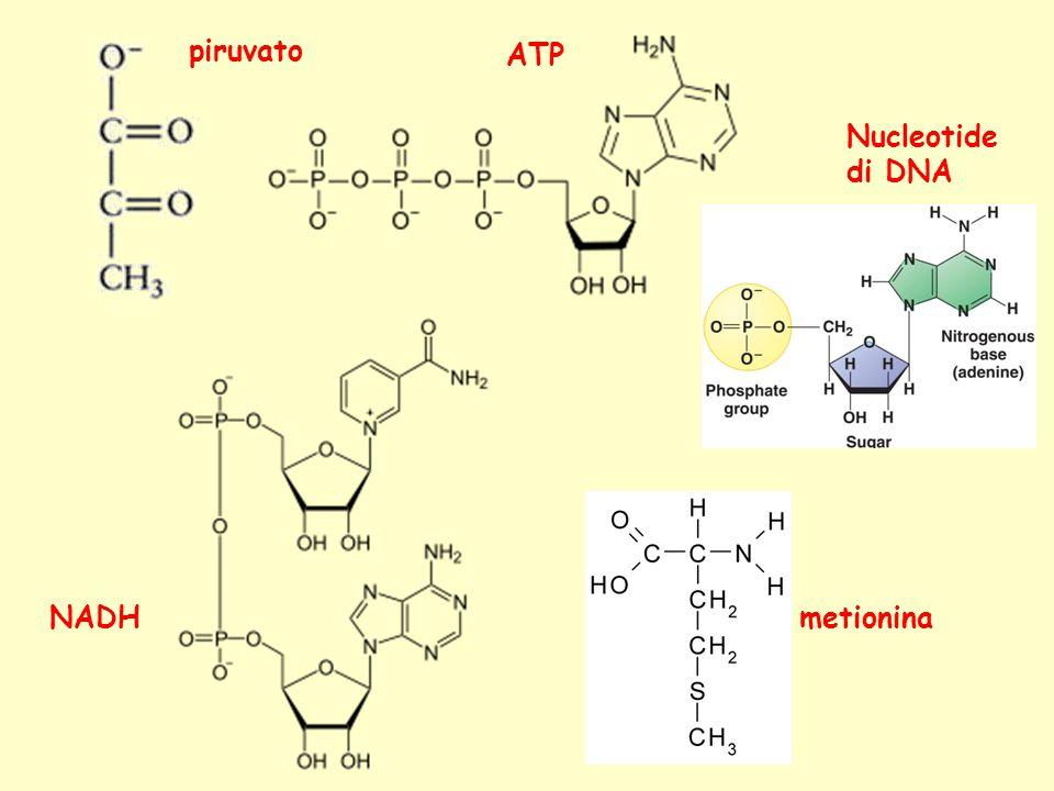 piruvato ATP NADH Nucleotide di DNA metionina