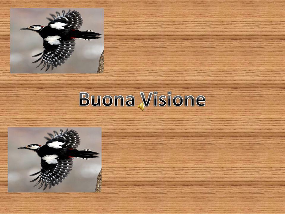 Fringuello Il Fringuello è un uccello di piccole dimensioni che misura circa 15 centimetri in lunghezza, apertura alare fino a 28 cm e peso di circa 20 grammi.