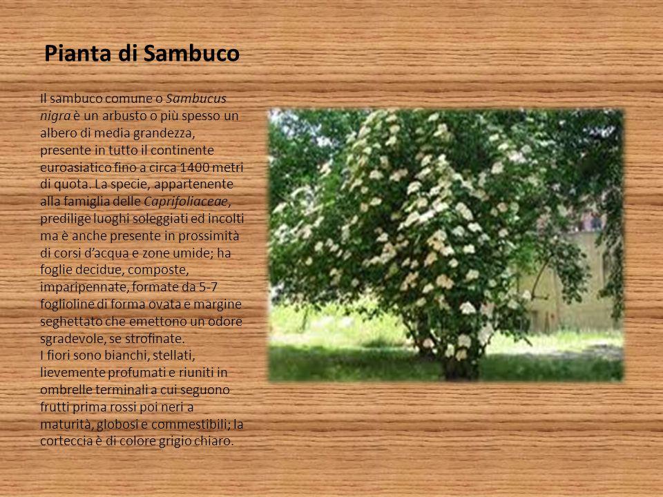 Pianta di Sambuco Il sambuco comune o Sambucus nigra è un arbusto o più spesso un albero di media grandezza, presente in tutto il continente euroasiat