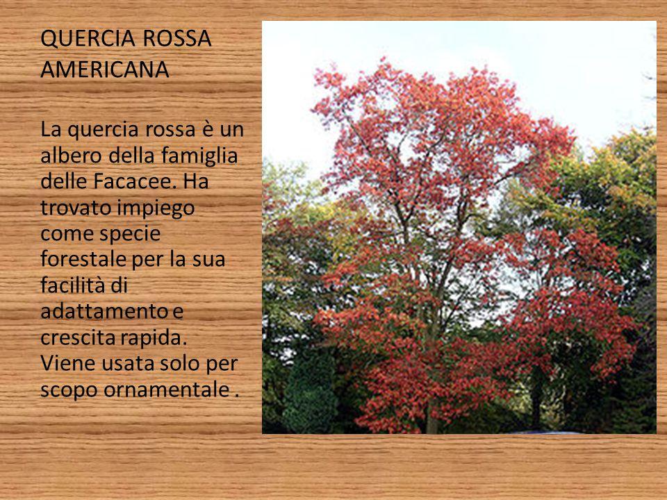 QUERCIA ROSSA AMERICANA La quercia rossa è un albero della famiglia delle Facacee. Ha trovato impiego come specie forestale per la sua facilità di ada