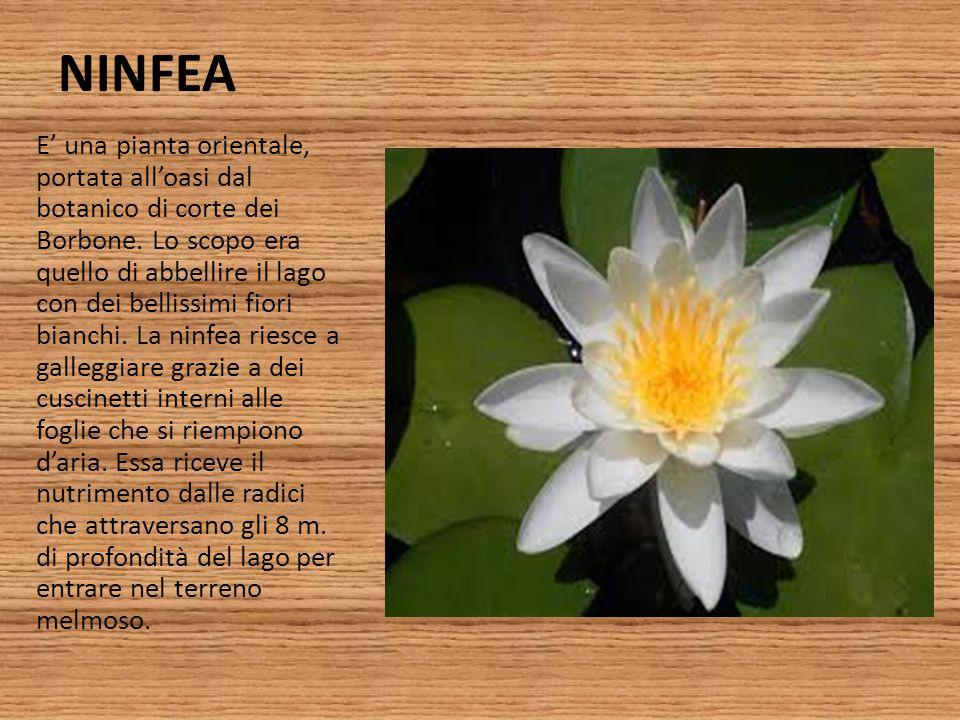 NINFEA E' una pianta orientale, portata all'oasi dal botanico di corte dei Borbone. Lo scopo era quello di abbellire il lago con dei bellissimi fiori