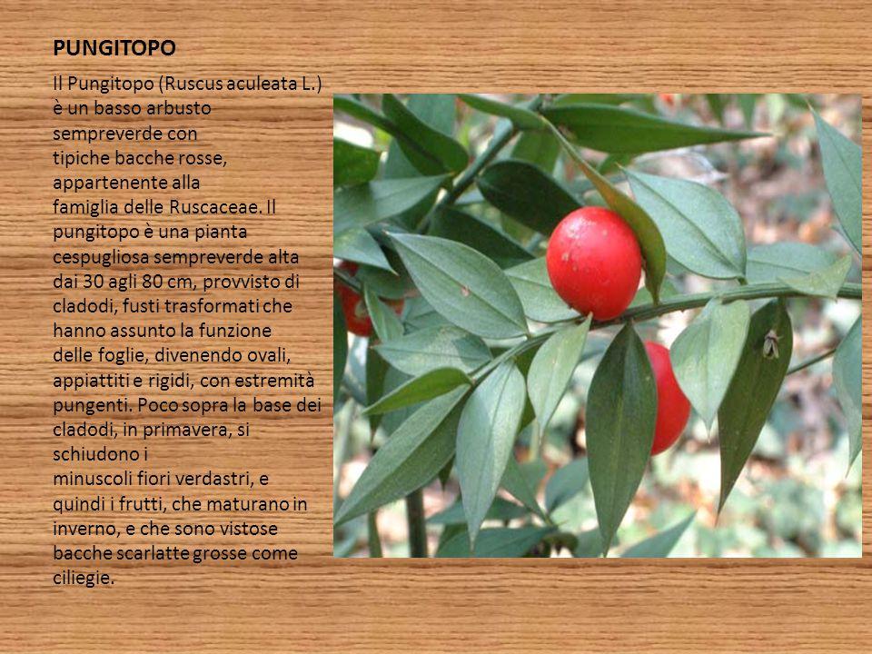 PUNGITOPO Il Pungitopo (Ruscus aculeata L.) è un basso arbusto sempreverde con tipiche bacche rosse, appartenente alla famiglia delle Ruscaceae. Il pu