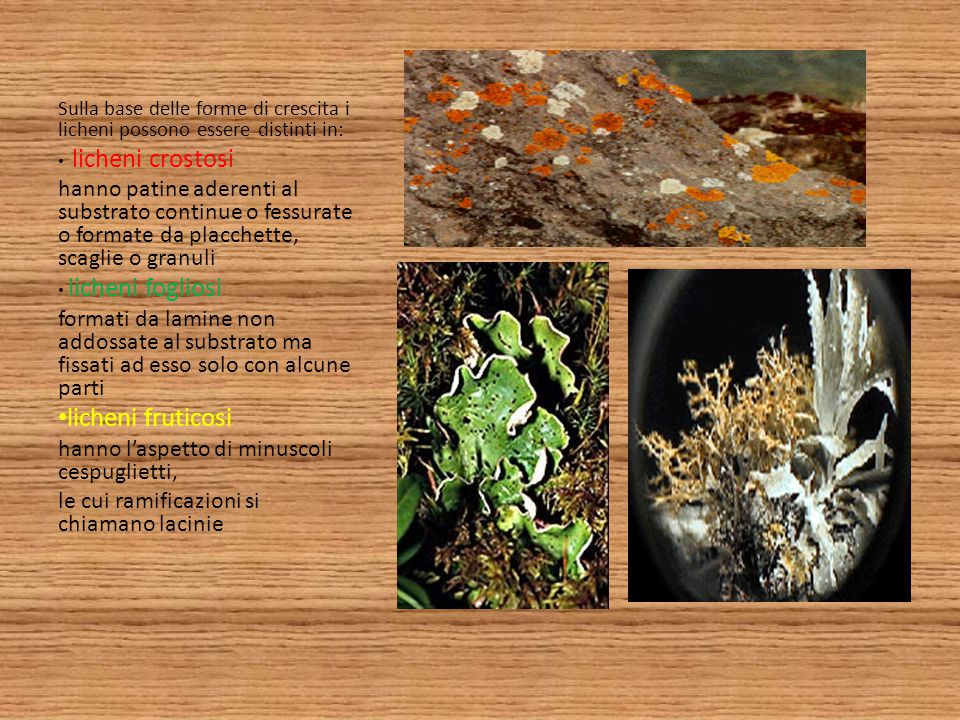 Sulla base delle forme di crescita i licheni possono essere distinti in: licheni crostosi hanno patine aderenti al substrato continue o fessurate o fo