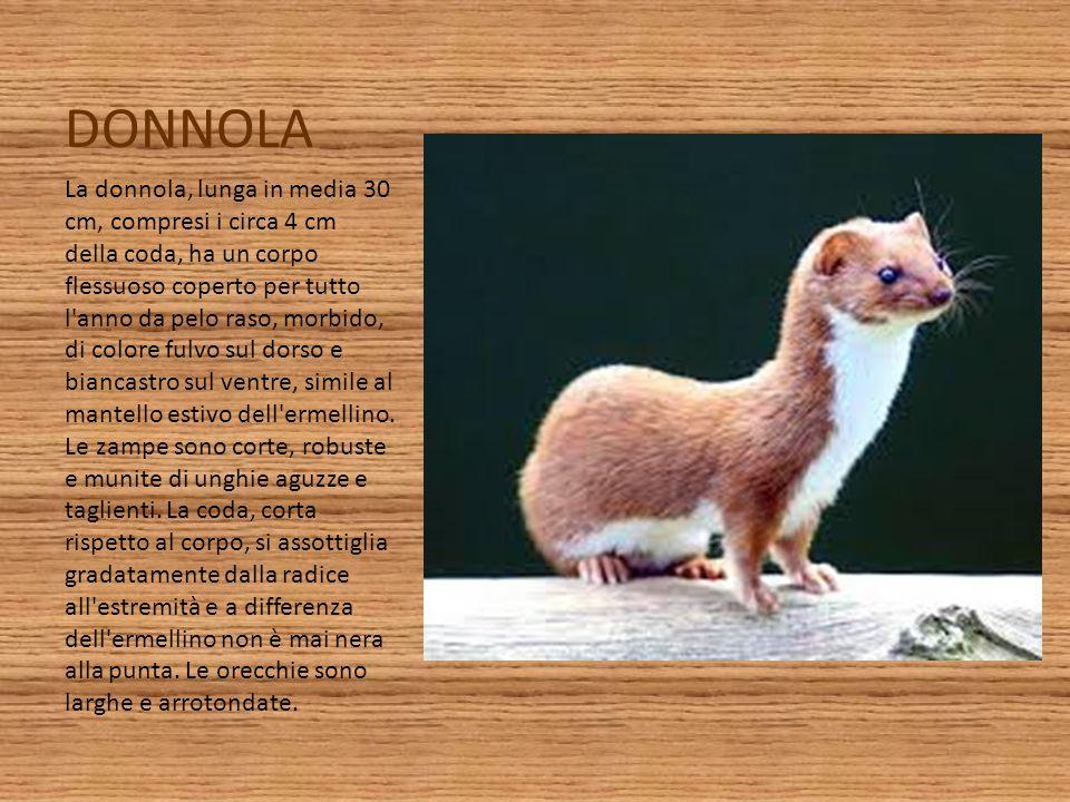 DONNOLA La donnola, lunga in media 30 cm, compresi i circa 4 cm della coda, ha un corpo flessuoso coperto per tutto l'anno da pelo raso, morbido, di c
