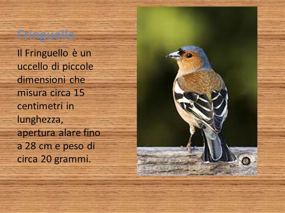 Fringuello Il Fringuello è un uccello di piccole dimensioni che misura circa 15 centimetri in lunghezza, apertura alare fino a 28 cm e peso di circa 2