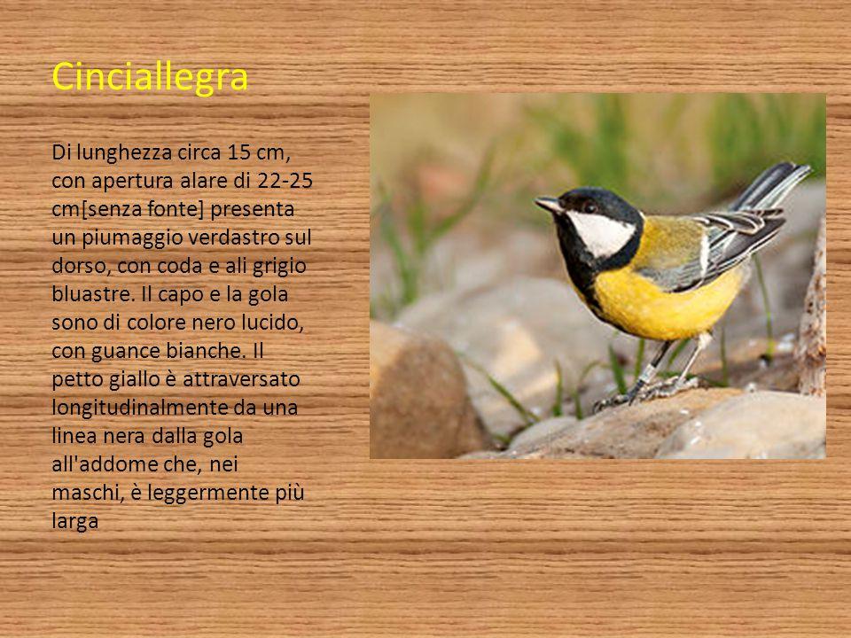 Cinciallegra Di lunghezza circa 15 cm, con apertura alare di 22-25 cm[senza fonte] presenta un piumaggio verdastro sul dorso, con coda e ali grigio bl