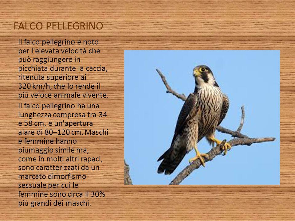 FALCO PELLEGRINO Il falco pellegrino è noto per l'elevata velocità che può raggiungere in picchiata durante la caccia, ritenuta superiore ai 320 km/h,