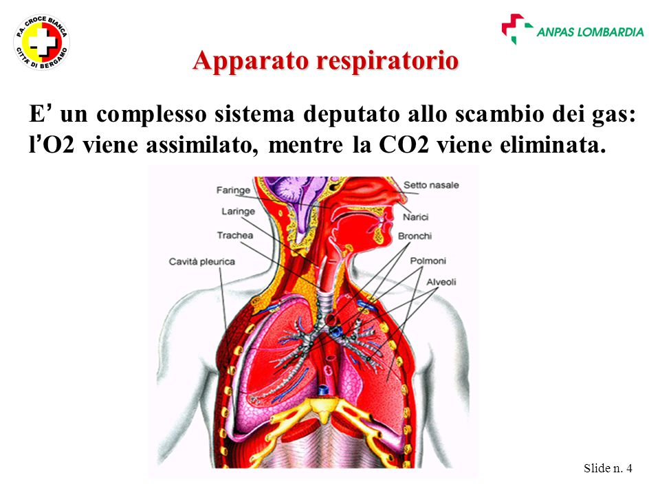 Slide n. 4 E ' un complesso sistema deputato allo scambio dei gas: l ' O2 viene assimilato, mentre la CO2 viene eliminata. Apparato respiratorio