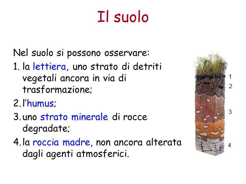 Il suolo Nel suolo si possono osservare: 1.la lettiera, uno strato di detriti vegetali ancora in via di trasformazione; 2.l'humus; 3.uno strato minera