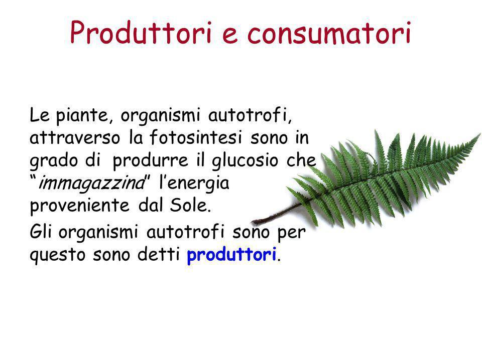"""Produttori e consumatori Le piante, organismi autotrofi, attraverso la fotosintesi sono in grado di produrre il glucosio che """"immagazzina"""" l'energia p"""