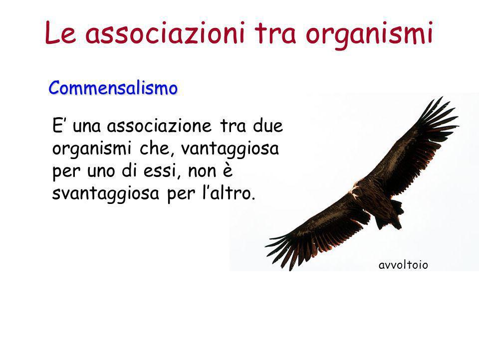 avvoltoio Le associazioni tra organismiCommensalismo E' una associazione tra due organismi che, vantaggiosa per uno di essi, non è svantaggiosa per l'