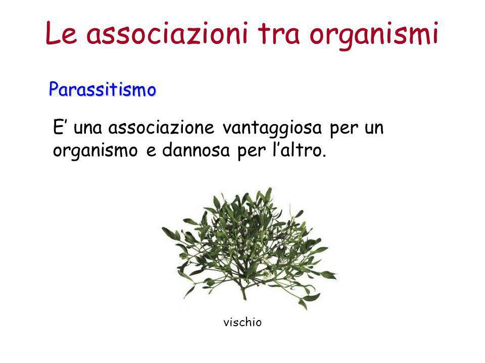 Le associazioni tra organismiParassitismo E' una associazione vantaggiosa per un organismo e dannosa per l'altro. vischio
