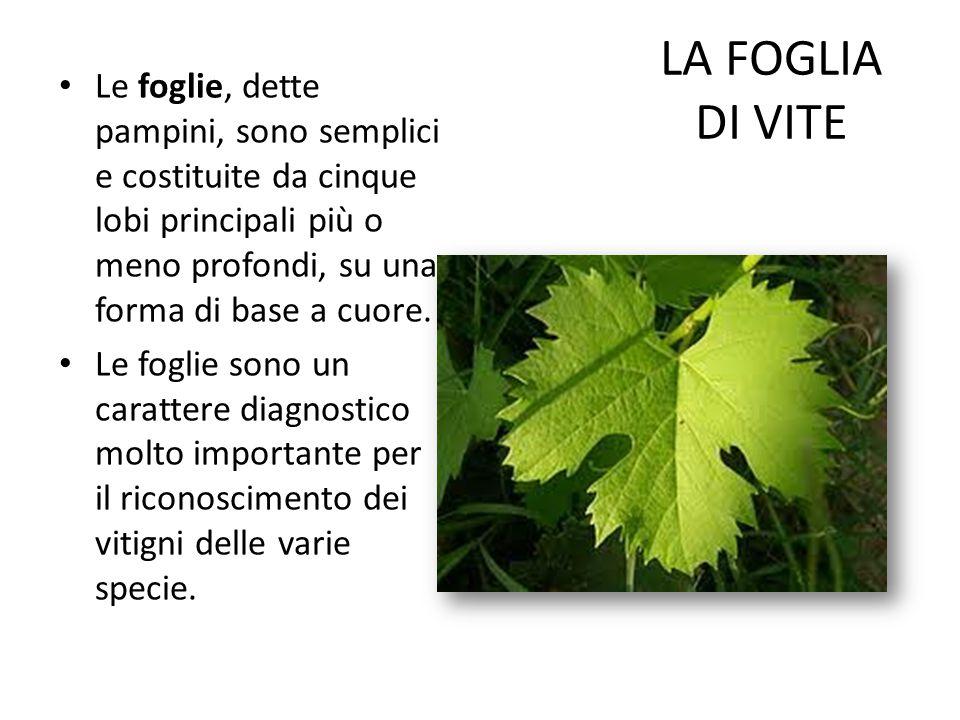 LA FOGLIA DI VITE Le foglie, dette pampini, sono semplici e costituite da cinque lobi principali più o meno profondi, su una forma di base a cuore. Le