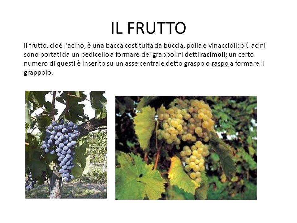 IL FRUTTO Il frutto, cioè l'acino, è una bacca costituita da buccia, polla e vinaccioli; più acini sono portati da un pedicello a formare dei grappoli