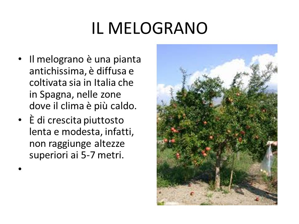 IL MELOGRANO Il melograno è una pianta antichissima, è diffusa e coltivata sia in Italia che in Spagna, nelle zone dove il clima è più caldo. È di cre