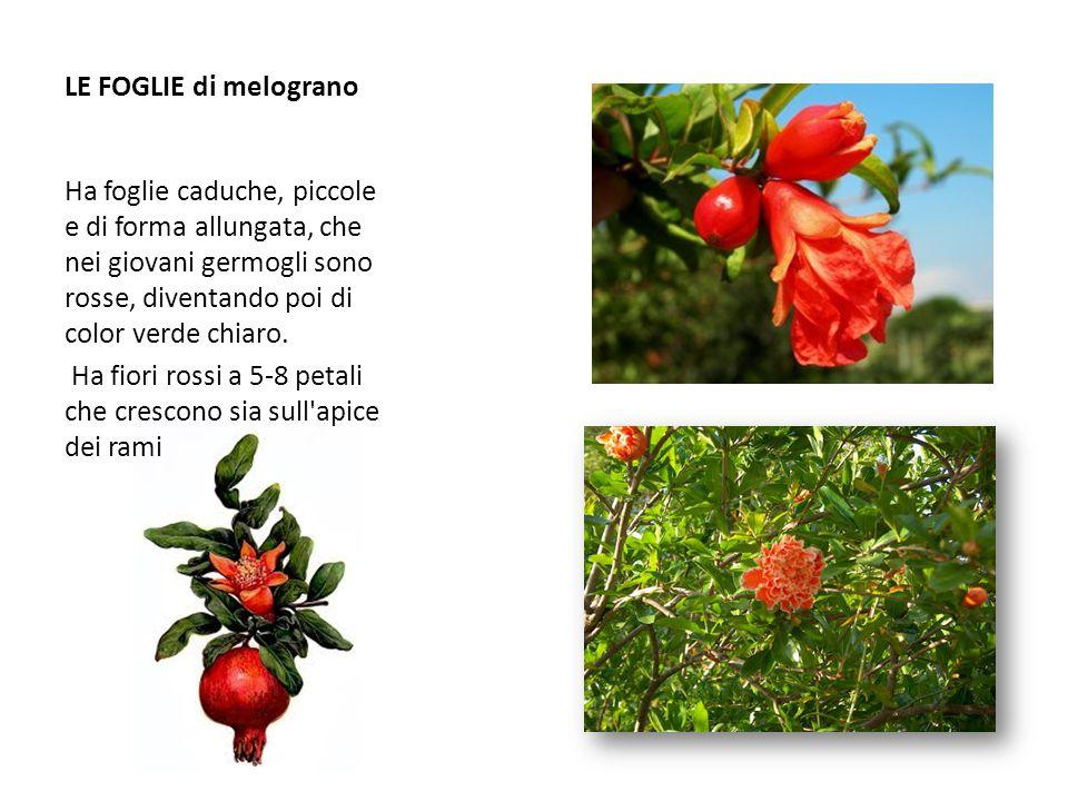LE FOGLIE di melograno Ha foglie caduche, piccole e di forma allungata, che nei giovani germogli sono rosse, diventando poi di color verde chiaro. Ha