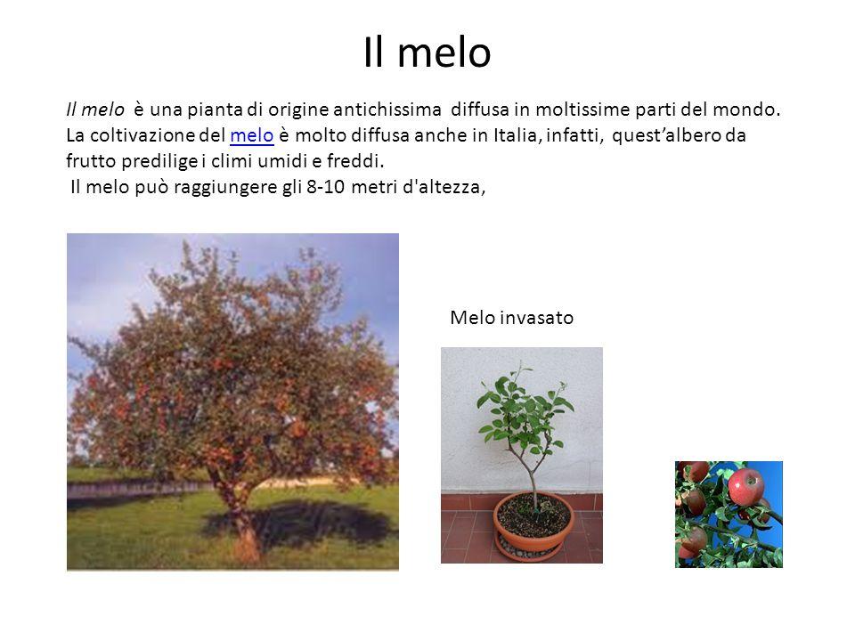 Il melo Il melo è una pianta di origine antichissima diffusa in moltissime parti del mondo. La coltivazione del melo è molto diffusa anche in Italia,