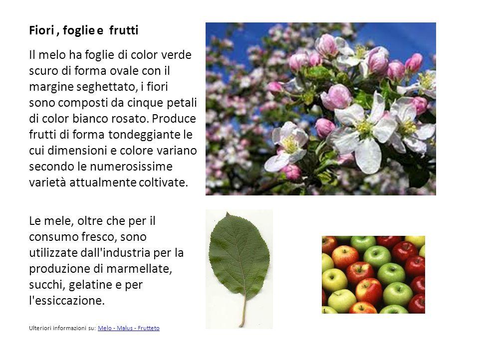 Fiori, foglie e frutti Il melo ha foglie di color verde scuro di forma ovale con il margine seghettato, i fiori sono composti da cinque petali di colo