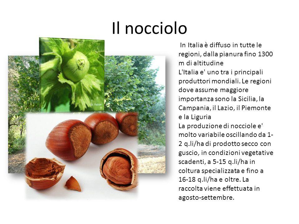 Il nocciolo In Italia è diffuso in tutte le regioni, dalla pianura fino 1300 m di altitudine L'Italia e' uno tra i principali produttori mondiali. Le