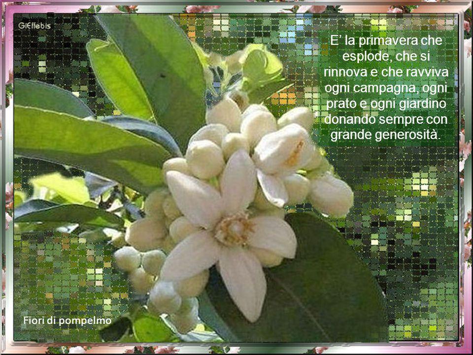 Fiori di pompelmo E' la primavera che esplode, che si rinnova e che ravviva ogni campagna, ogni prato e ogni giardino donando sempre con grande generosità.