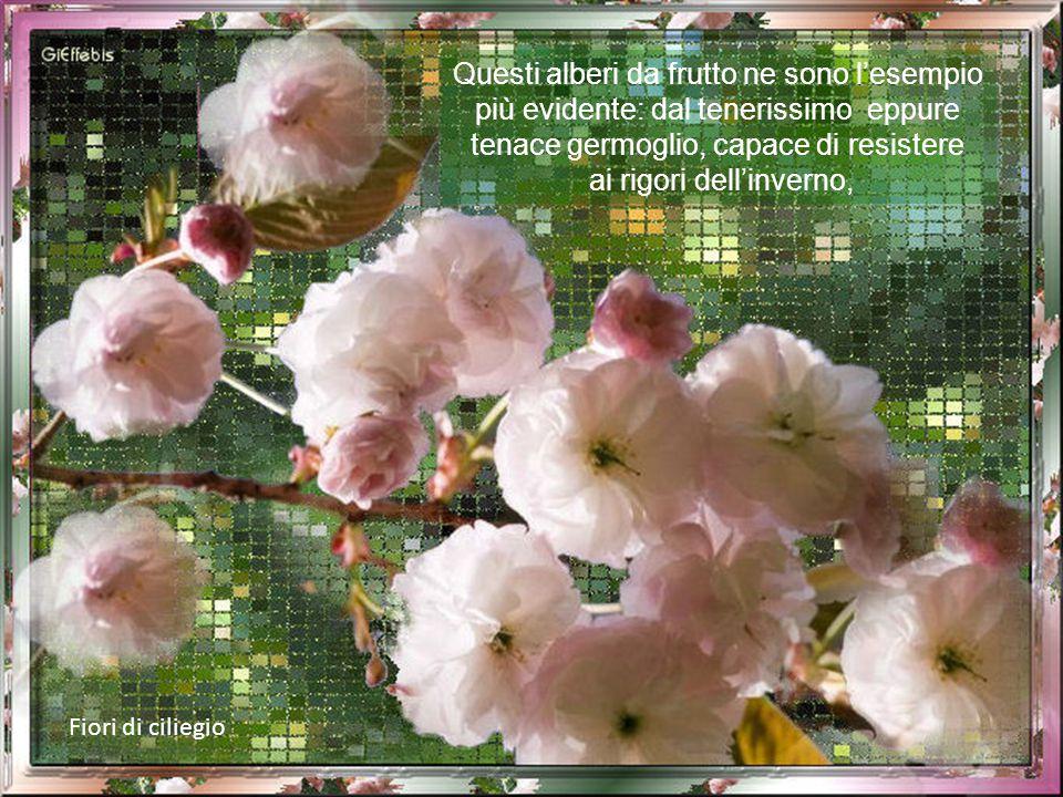 Fiori di pompelmo E' la primavera che esplode, che si rinnova e che ravviva ogni campagna, ogni prato e ogni giardino donando sempre con grande genero
