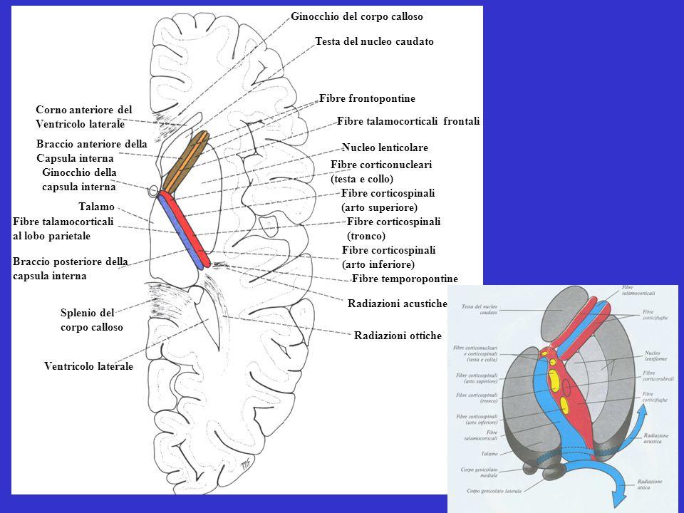 Ginocchio del corpo calloso Testa del nucleo caudato Talamo Ginocchio della capsula interna Braccio anteriore della Capsula interna Corno anteriore del Ventricolo laterale Fibre frontopontine Fibre talamocorticali frontali Nucleo lenticolare Fibre corticospinali (arto inferiore) Fibre temporopontine Radiazioni acustiche Radiazioni ottiche Fibre corticonucleari (testa e collo) Fibre corticospinali (tronco) Fibre corticospinali (arto superiore) Fibre talamocorticali al lobo parietale Braccio posteriore della capsula interna Splenio del corpo calloso Ventricolo laterale