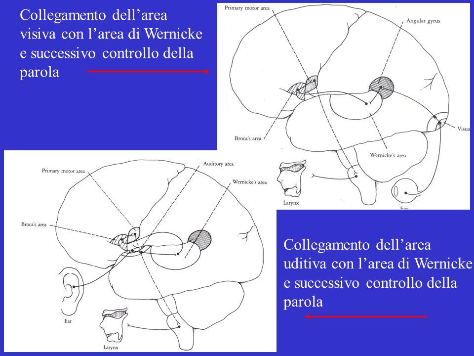 Collegamento dell'area visiva con l'area di Wernicke e successivo controllo della parola Collegamento dell'area uditiva con l'area di Wernicke e successivo controllo della parola