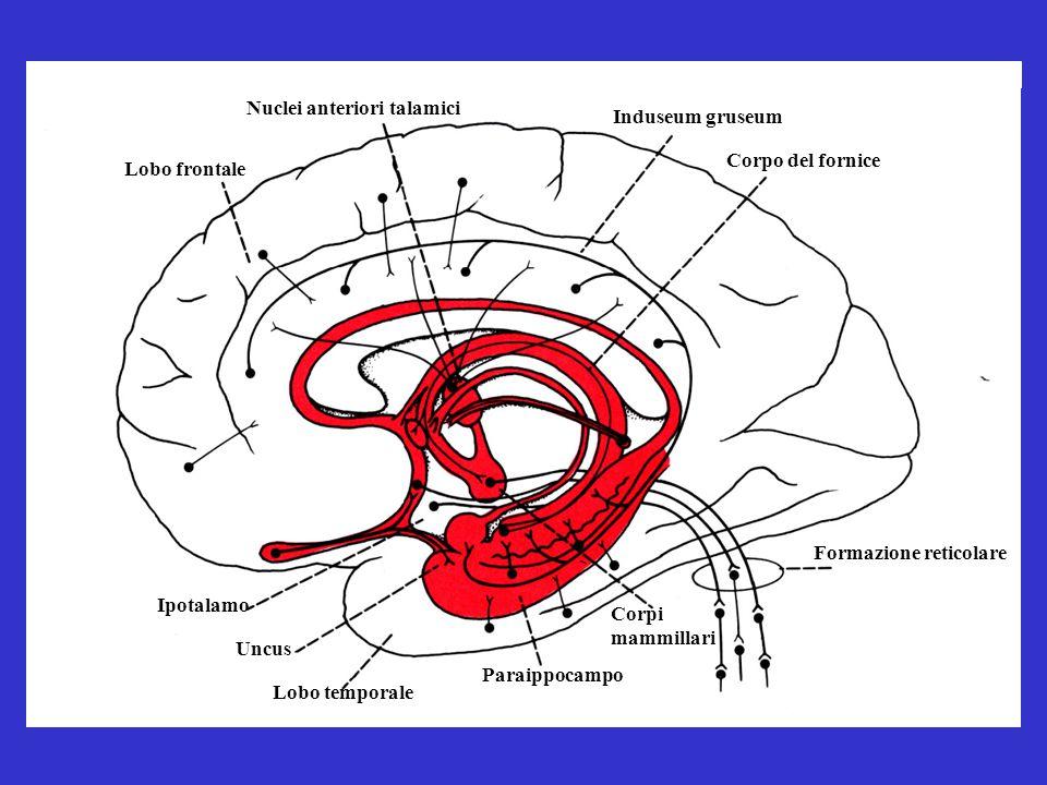 Lobo frontale Formazione reticolare Corpo del fornice Induseum gruseum Nuclei anteriori talamici Corpi mammillari Paraippocampo Lobo temporale Uncus Ipotalamo