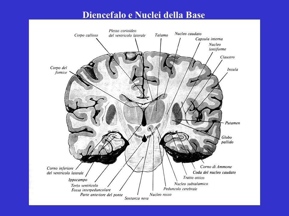 Diencefalo e Nuclei della Base