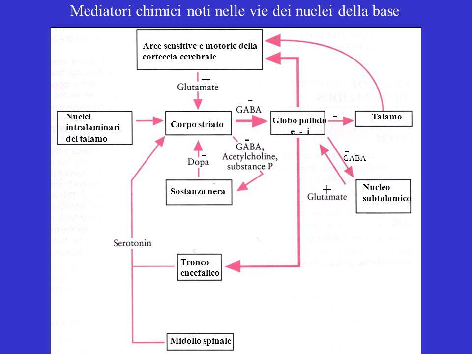 Talamo Midollo spinale Tronco encefalico Sostanza nera Corpo striato Aree sensitive e motorie della corteccia cerebrale Globo pallido e - i Nucleo subtalamico Nuclei intralaminari del talamo Mediatori chimici noti nelle vie dei nuclei della base - - + - - - GABA +