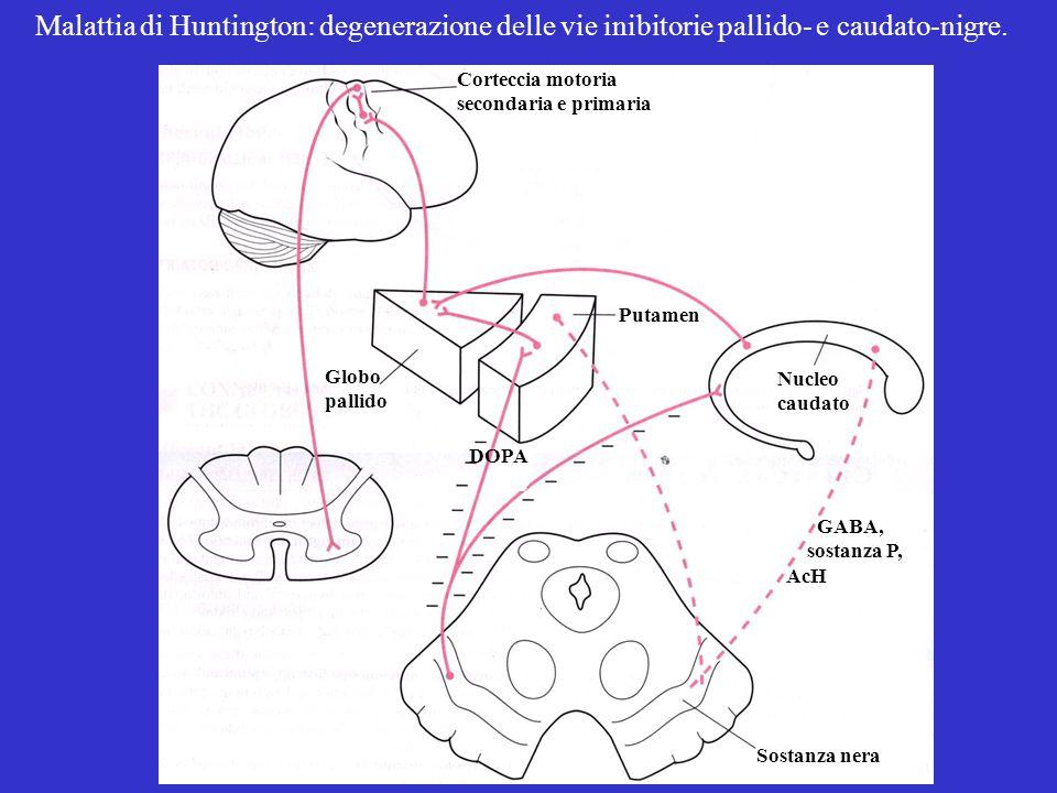 Globo pallido Putamen Sostanza nera GABA, sostanza P, AcH Nucleo caudato Corteccia motoria secondaria e primaria DOPA Malattia di Huntington: degenerazione delle vie inibitorie pallido- e caudato-nigre.