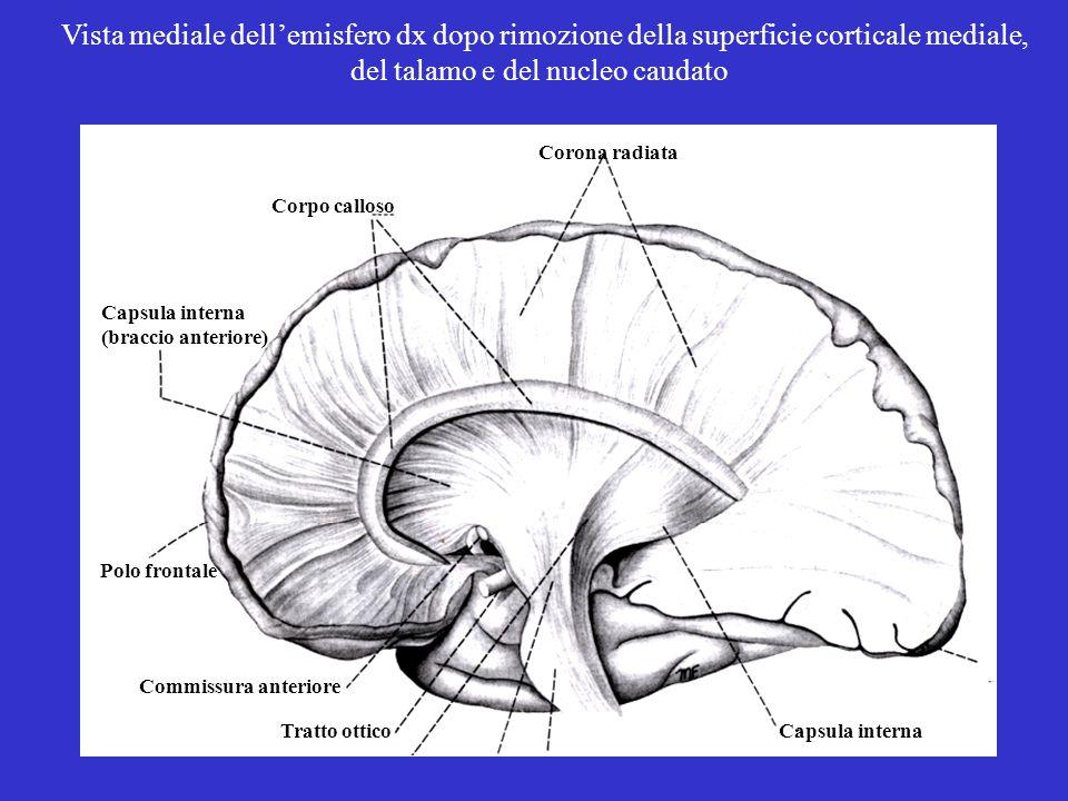 Capsula internaTratto ottico Commissura anteriore Polo frontale Capsula interna (braccio anteriore) Corona radiata Corpo calloso Vista mediale dell'emisfero dx dopo rimozione della superficie corticale mediale, del talamo e del nucleo caudato