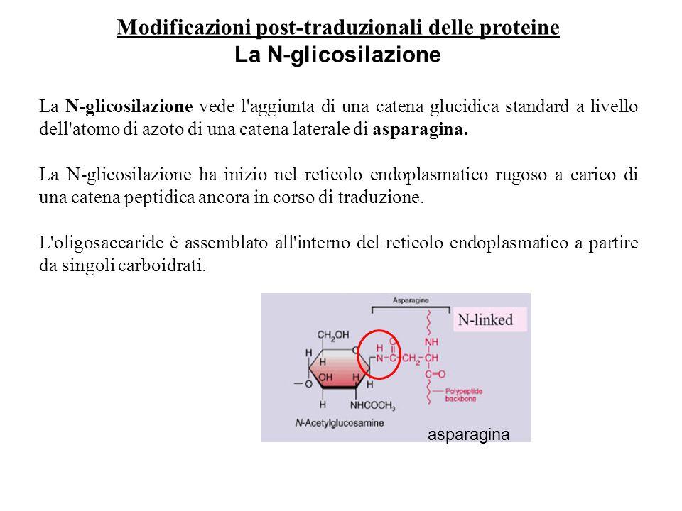 Modificazioni post-traduzionali delle proteine La N-glicosilazione La N-glicosilazione vede l'aggiunta di una catena glucidica standard a livello dell