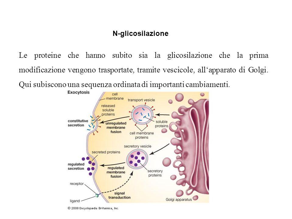 Le proteine che hanno subito sia la glicosilazione che la prima modificazione vengono trasportate, tramite vescicole, all'apparato di Golgi. Qui subis