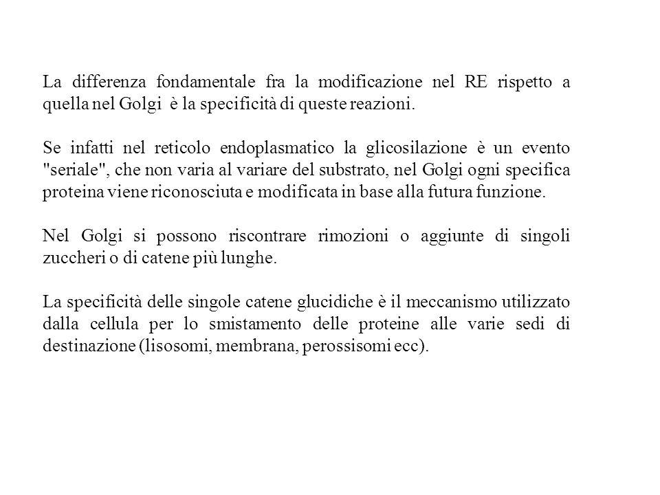 La differenza fondamentale fra la modificazione nel RE rispetto a quella nel Golgi è la specificità di queste reazioni. Se infatti nel reticolo endopl