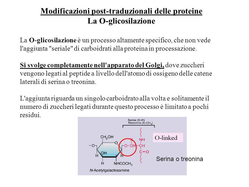 Modificazioni post-traduzionali delle proteine La O-glicosilazione La O-glicosilazione è un processo altamente specifico, che non vede l'aggiunta