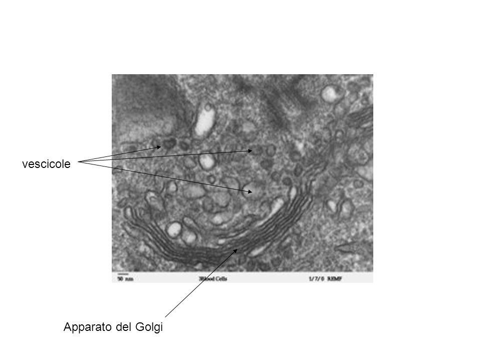 Apparato del Golgi vescicole
