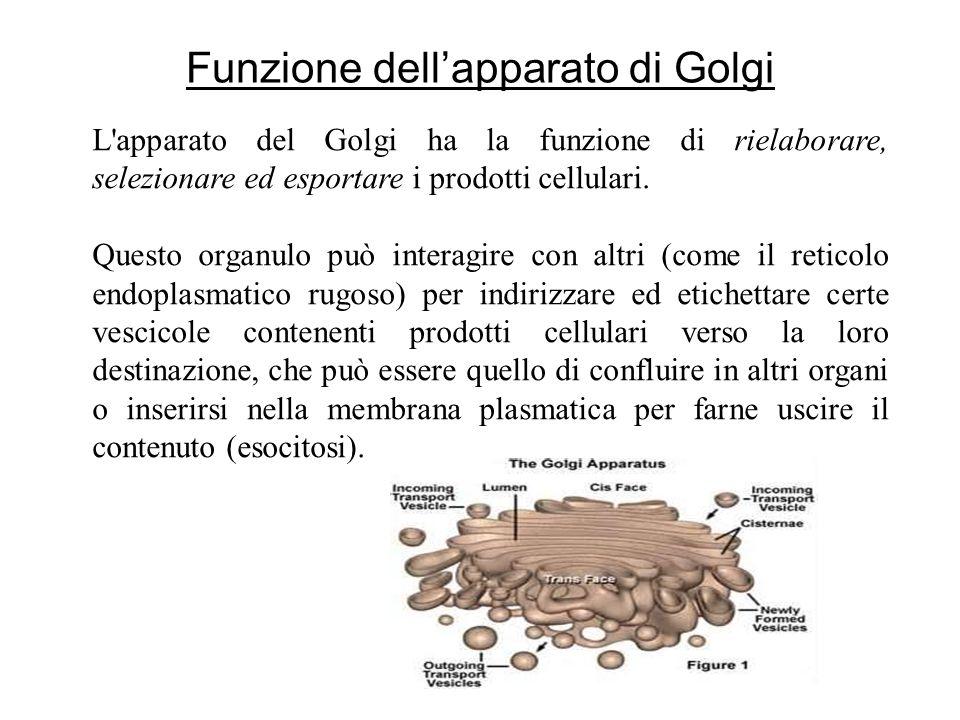 L'apparato del Golgi ha la funzione di rielaborare, selezionare ed esportare i prodotti cellulari. Questo organulo può interagire con altri (come il r