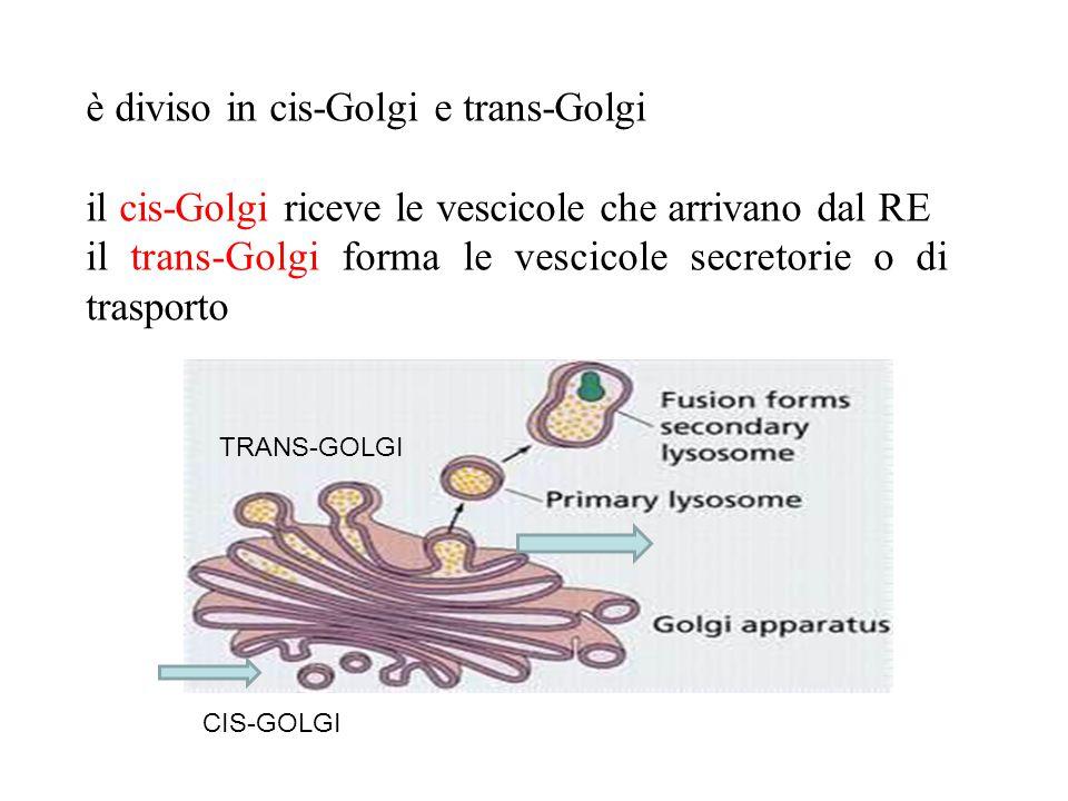 è diviso in cis-Golgi e trans-Golgi il cis-Golgi riceve le vescicole che arrivano dal RE il trans-Golgi forma le vescicole secretorie o di trasporto T