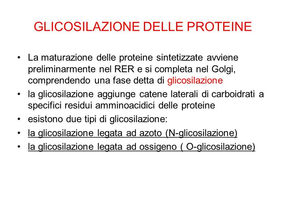 GLICOSILAZIONE DELLE PROTEINE La maturazione delle proteine sintetizzate avviene preliminarmente nel RER e si completa nel Golgi, comprendendo una fas