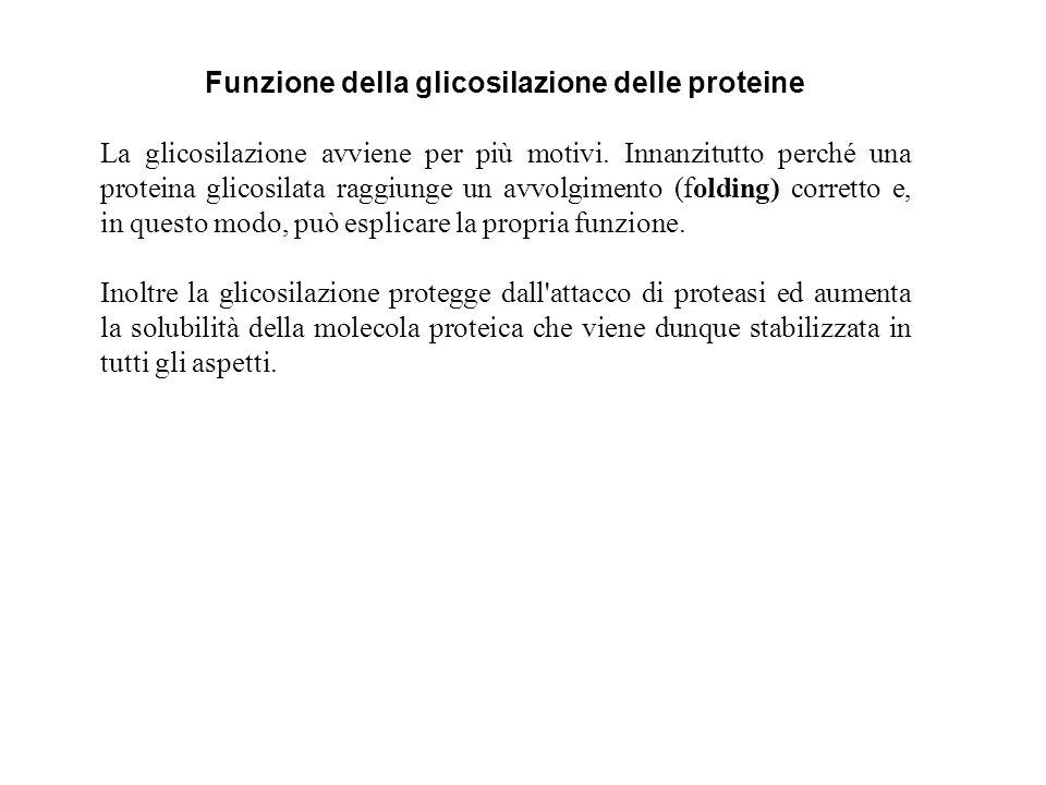 Funzione della glicosilazione delle proteine La glicosilazione avviene per più motivi. Innanzitutto perché una proteina glicosilata raggiunge un avvol