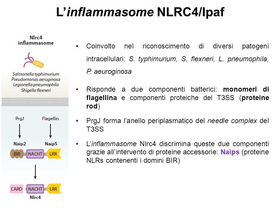 L'inflammasome NLRC4/Ipaf Coinvolto nel riconoscimento di diversi patogeni intracellulari: S. typhimurium, S. flexneri, L. pneumophila, P. aeuroginosa