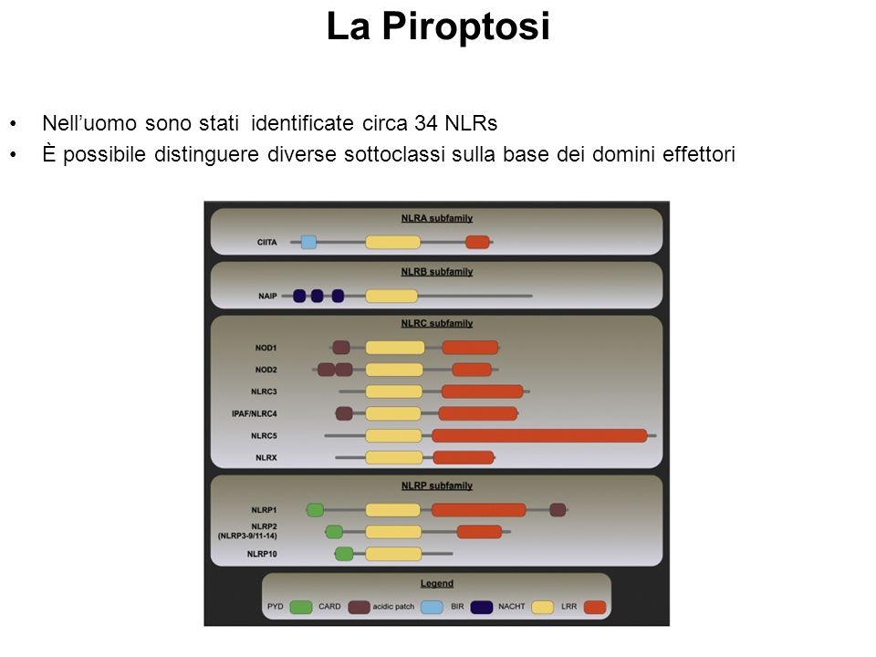 La Piroptosi Nell'uomo sono stati identificate circa 34 NLRs È possibile distinguere diverse sottoclassi sulla base dei domini effettori