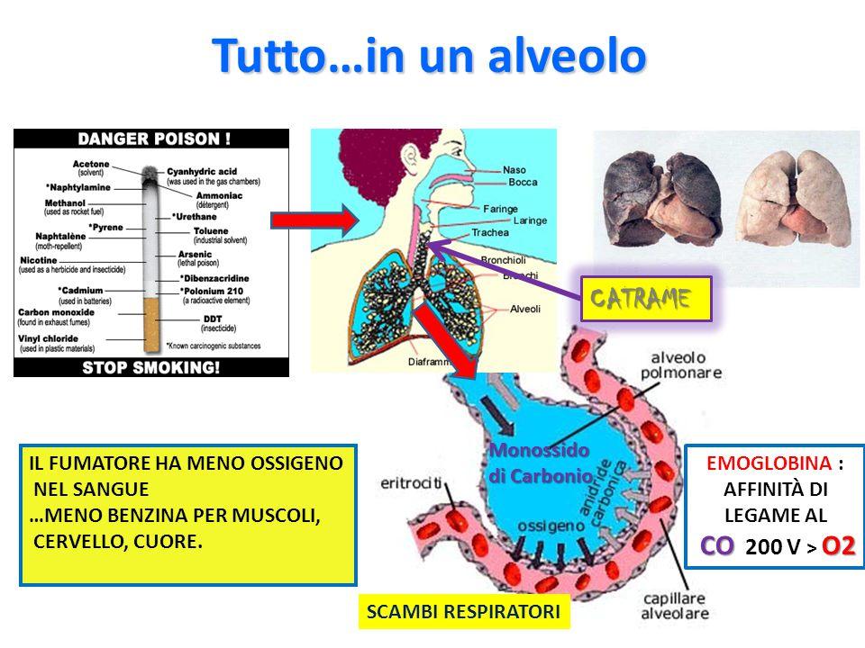 Tutto…in un alveolo IL FUMATORE HA MENO OSSIGENO NEL SANGUE …MENO BENZINA PER MUSCOLI, CERVELLO, CUORE. SCAMBI RESPIRATORI EMOGLOBINA : AFFINITÀ DI LE