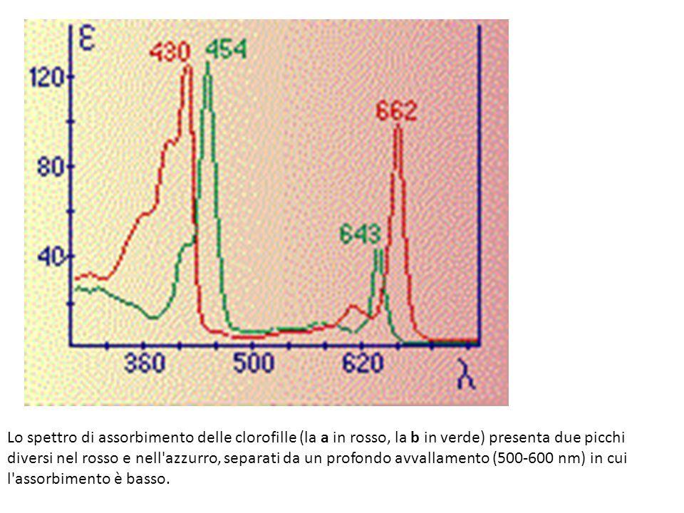 Lo spettro di assorbimento delle clorofille (la a in rosso, la b in verde) presenta due picchi diversi nel rosso e nell'azzurro, separati da un profon