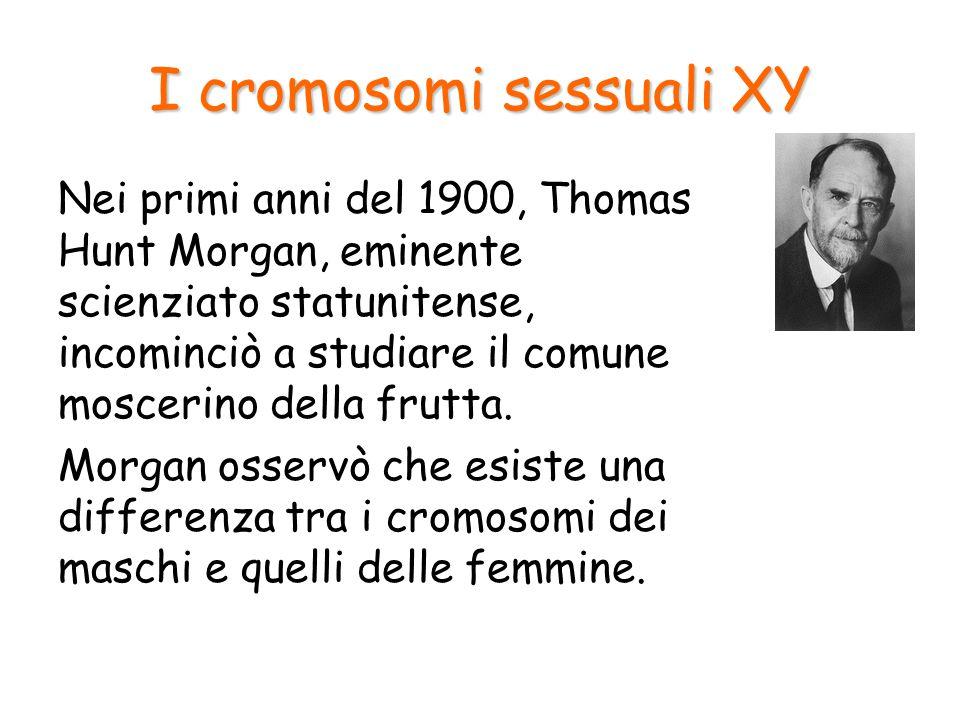 I cromosomi sessuali XY I cromosomi del moscerino della frutta